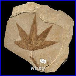 Extinctions- Large Macginitiea Sycamore Leaf Fossil With Snout Beetle- Very Rare
