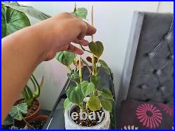 Philodendron Lupinum 4 full large plants very rare aroid Not Monstera/Anthurium